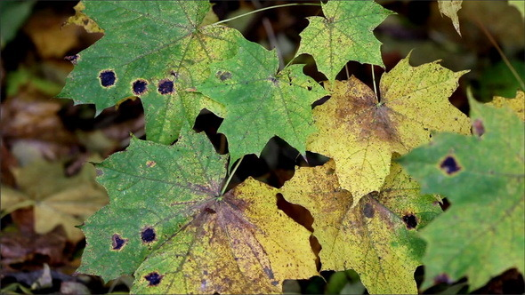 Black Spots Found on the Maple Leaves