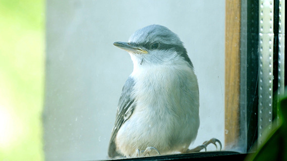 VideoHive Nuthatch Sitting And Peeps 11704397