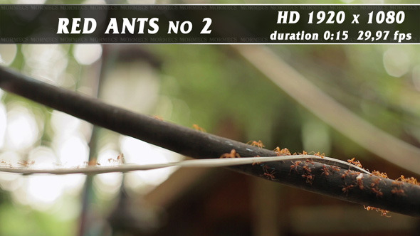 VideoHive Red Ants No.2 11704912