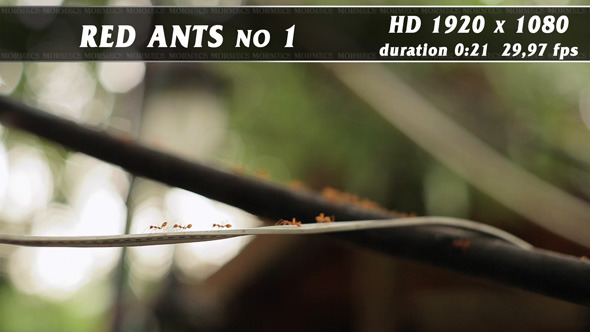 VideoHive Red Ants No.3 11704924