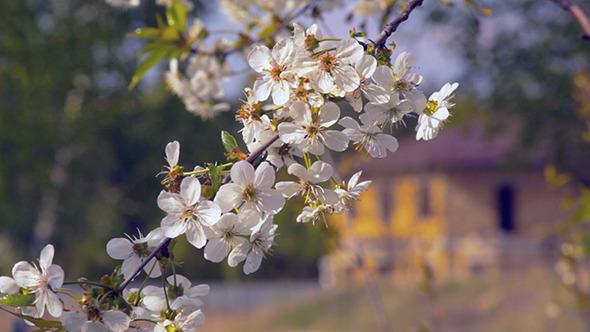 Spring Cherry Tree Flower