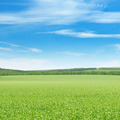 green pea field and blue sky - PhotoDune Item for Sale