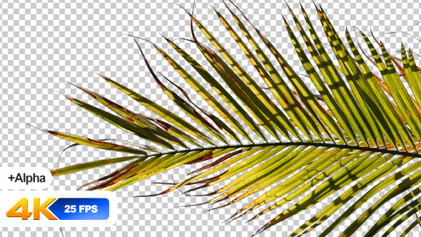 VideoHive Palm Tree Isolated 11716822