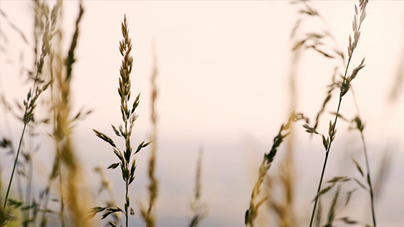 Corn Ears in the Wind