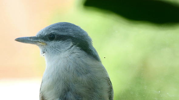 VideoHive Nuthatch Sitting And Peeps Near The Window 11730181