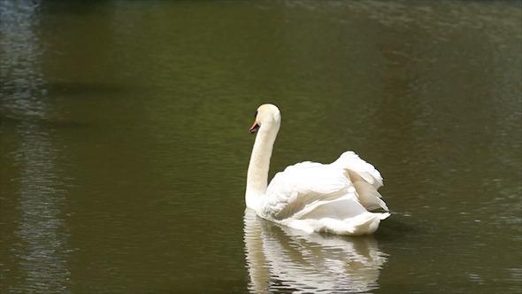 Huge White Swan Swimming in Lake