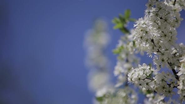 Branch Cherry Tree Flowering