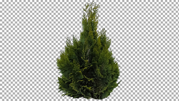 VideoHive Real Coniferous Plant Isolated 5 Medium Wind 11741488