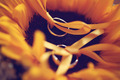 Wedding rings on sunflower