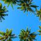 Towering Coconut Trees - PhotoDune Item for Sale