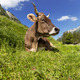 Relaxed cow - PhotoDune Item for Sale