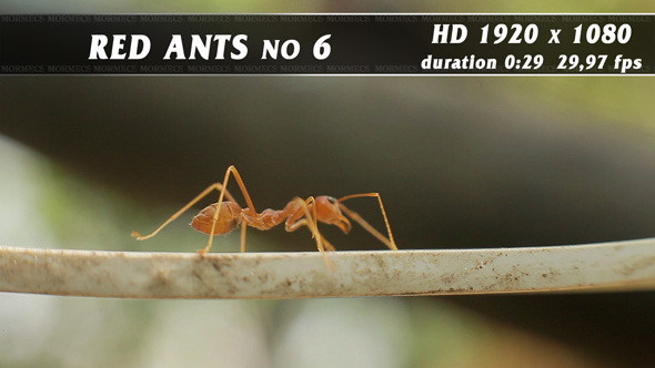 Red Ants No.6