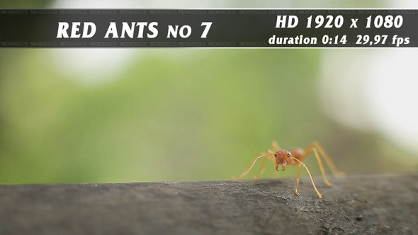 Red Ants No.7