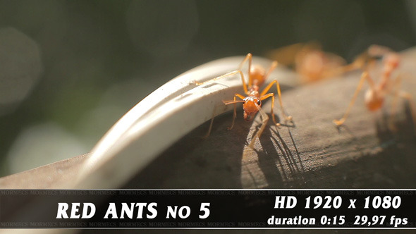 Red Ants No.5