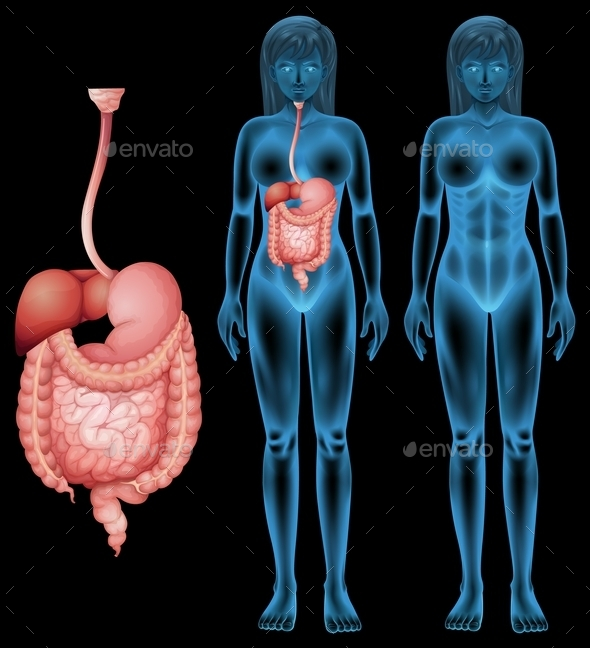 GraphicRiver Human Digestive System 11760743