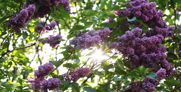 Lilac Flowers In The Garden 4
