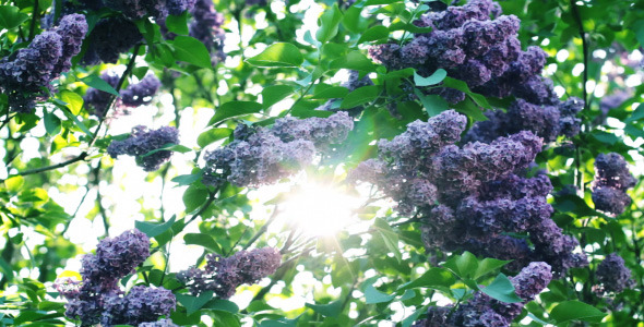 Lilac Flowers In The Garden 5