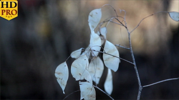 A Lunaria Annua Annual Honesty Plant with Withered