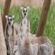 Lemur Family - VideoHive Item for Sale
