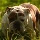 Sad English Bulldog Is Waiting - VideoHive Item for Sale