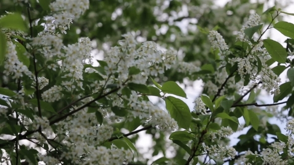 Branch Of Bird Cherry