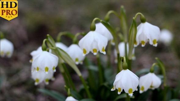 White Spring Snowflake Flower
