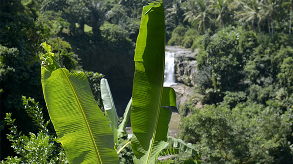Banana Palm with Waterfall Background