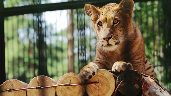 Portrait Of Cute Liger Baby Is Resting