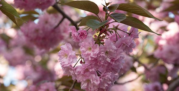 Blooming Sakura Cherry Tree