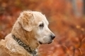 Portrait retriever on red background - PhotoDune Item for Sale