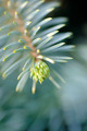 Tip of the fir tree branch - PhotoDune Item for Sale