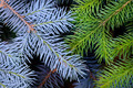Two fir branches background - PhotoDune Item for Sale