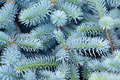 Fir branches background - PhotoDune Item for Sale