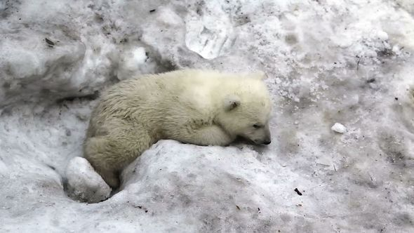 Sad Little Polar Bear Cub