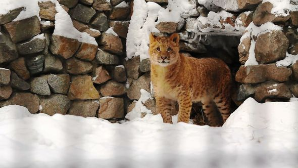 Liger Cub Is Near The Caves