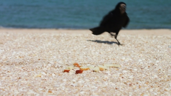 Crow On The Beach Quickly Takes The Food And Flies
