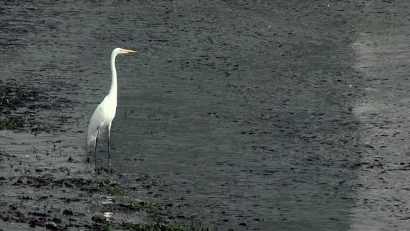 VideoHive White Heron Standing In Shallow Water 11835332