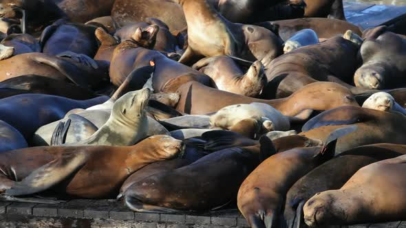 VideoHive Sea Lion Crowd 11835396