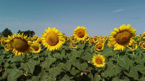 Field Of Sunflowers 1