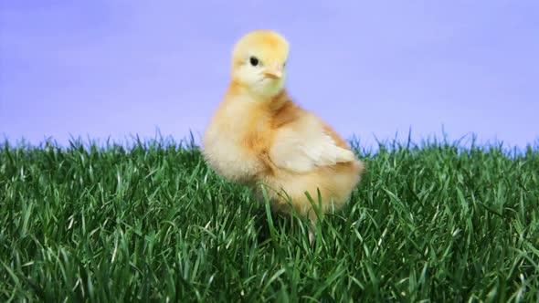 Baby Chick Chirping