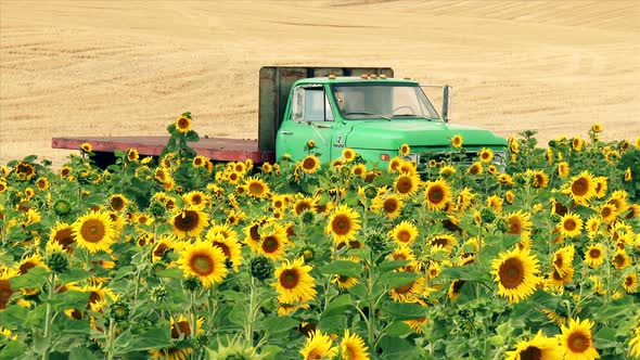 Farm Truck And Field Of Sunflowers