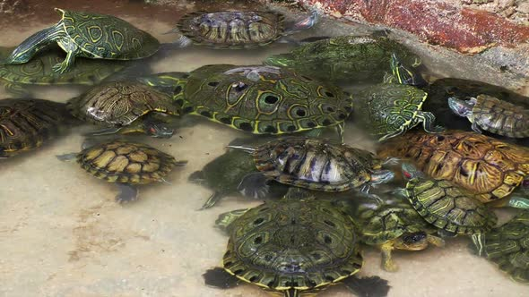 VideoHive Turtles In Pool 1 11835972