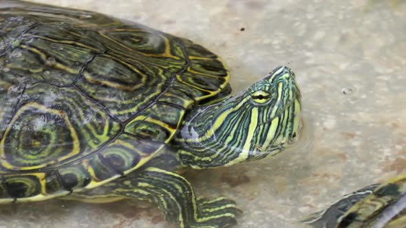 VideoHive Turtle In Pool 11836021