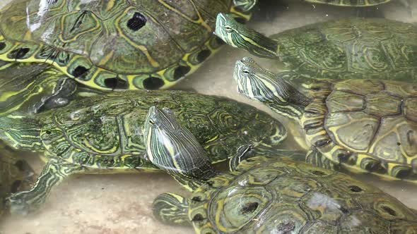 VideoHive Turtles In Pool 2 11836068