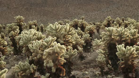 Cholla Cactus 3