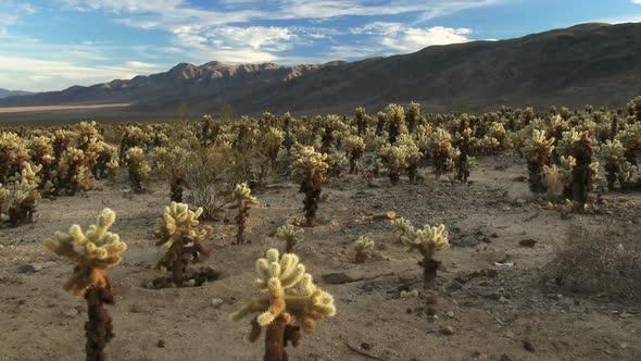 Desert Full Of Cholla Cactus 2