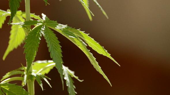 Maryjane Cannabis Leaves