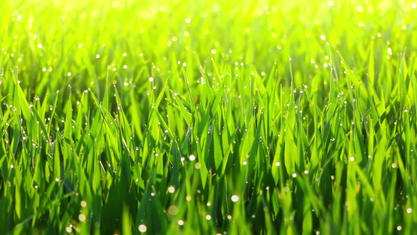 Morning Dew on the Grass and the Breeze