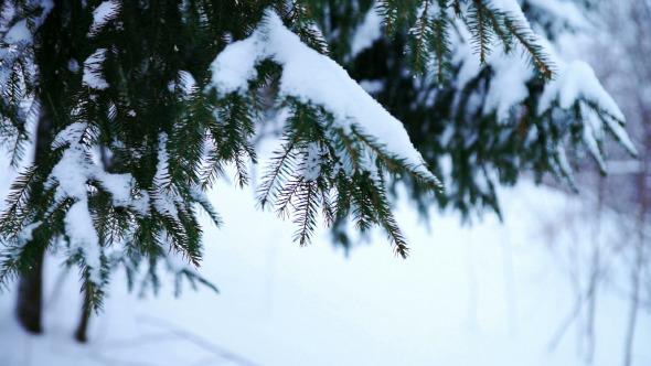 Spruce Tree Branch Under Snow