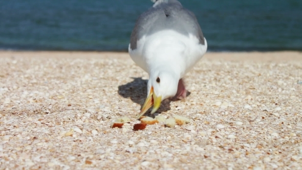 VideoHive One-legged Gull Eats Bread Food On The Beach 11845967